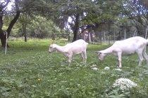 Kozy mladé k chovu