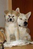 štěně akita inu