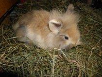 prodám králičky zakrslíky