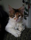 Mainská mývalí koťátka s PP-poslední princezna
