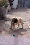 Mastif štěňata