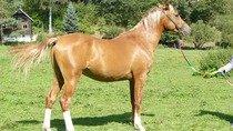 Plnokrevný arabský kůň