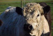 Plemenný býk Galloway