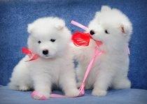 čisté plemeno samoyed štěně na prodej