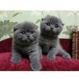skotský fold koťata na prodej
