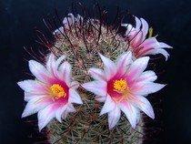 Kaktus Mammillaria sheldonii - semena