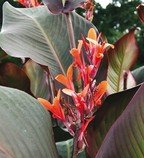 Canna indica purpurea - hlíza