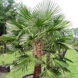 Trachycarpus fortunei Naini Tal - naklíčené