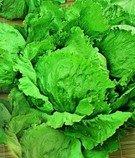 Salát Pražan - semena