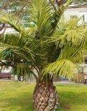 Jubaea chilensis - sazenice