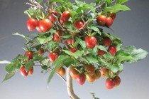 Diospyros Rhombifolia - sazenice