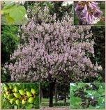 Paulownia Tomentosa - semena