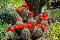 Kaktus mrazuvzdorný Echinocereus coccineus
