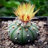 Kaktus Astrophytum asterias - semena