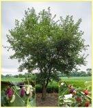 Morus Rubra - semena