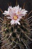 Kaktus Eriosyce taltalensis - semena