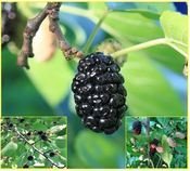 Morus Nigra - semena