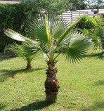 naklíčené semeno Palma Washingtonia robusta