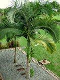 2 naklíčená semena Palma Archontophoenix alex