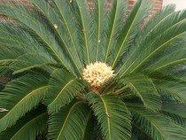 naklíčená semena palma Cycas Revoluta