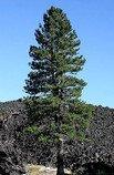 Borovice Jeffreyova - Pinus Jeffreyi